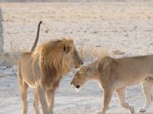 Lions Etosha National Park