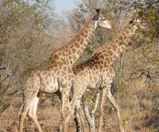 Pair of giraffes in the Timbavati