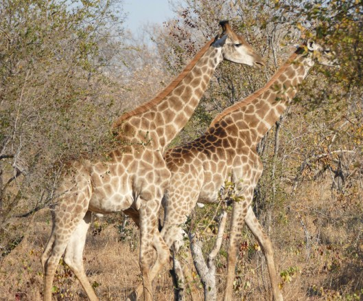 Pair of giraffes in the Timbavati