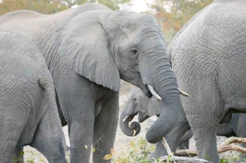 Elephants in the Timbavati, safari