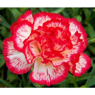 Red And White Carnation Flower  Carnation Flowers   Rathna     Red And White Carnation Flower