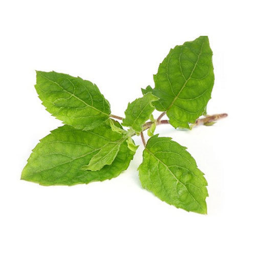 Organic Tulsi Leaves at Rs 90/kilogram   State Bank Colony   Thoothukudi   ID: 15035326130