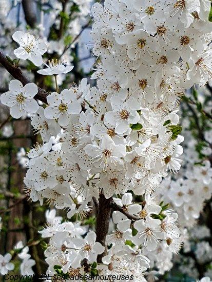 petits plaisirs premières fleurs du printemps