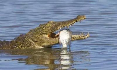Proven Reasons Why Crocodiles Cry While Eating Their Preys - 20201009105649 1570359164 2842938699560296961 480 270 80 webp - Proven Reasons Why Crocodiles Cry While Eating Their Preys