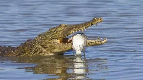 Proven Reasons Why Crocodiles Cry While Eating Their Preys Proven Reasons Why Crocodiles Cry While Eating Their Preys 20201009105649 1570359164 2842938699560296961 480 270 80 webp