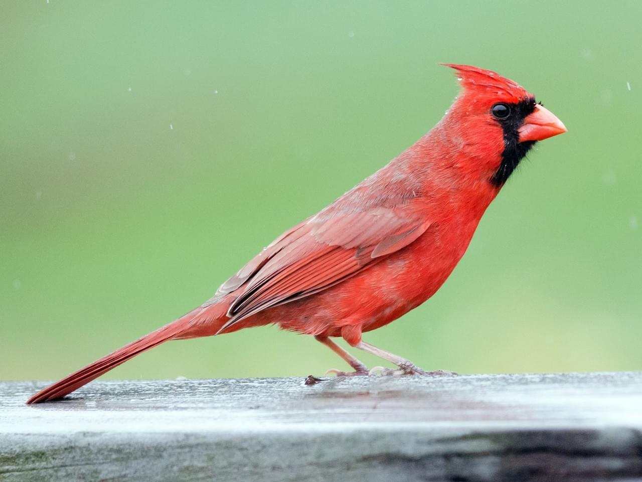 Illinois State Bird