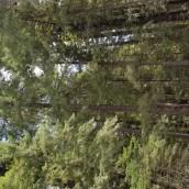 Drive thru Tree - Leggett