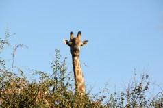 Giraffe in Chobe National Park, Botswana.