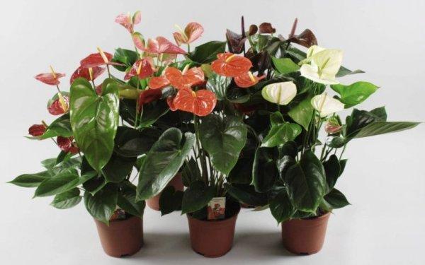 Антуриум Андре (комнатные растения): уход в домашних ...