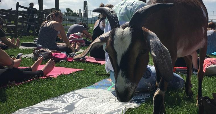 Goat Yoga at Hancock Shaker Village [VIDEO]