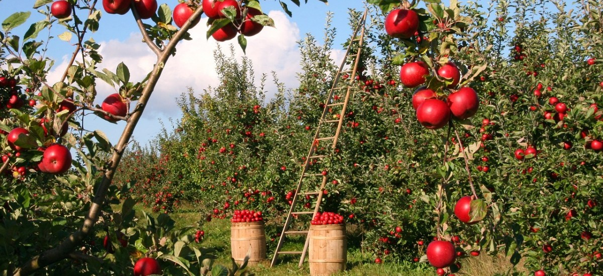 Bowman Orchards to Add Cover Charge to Pick