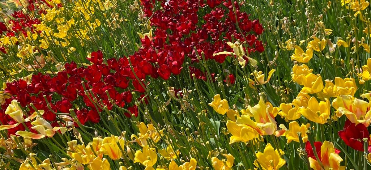 Tulip Fest, Washington Park, Albany