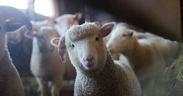 Brookside Museum Bringing Back Sheep to Shawl