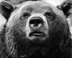 grizzly_bear_bw
