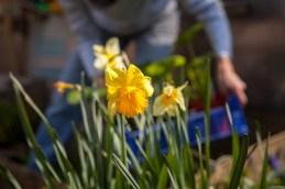 2014 KHWG Members day- daffodils