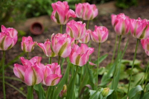 Plot 51 Tulips