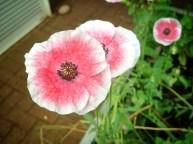 Plot 51 Poppy