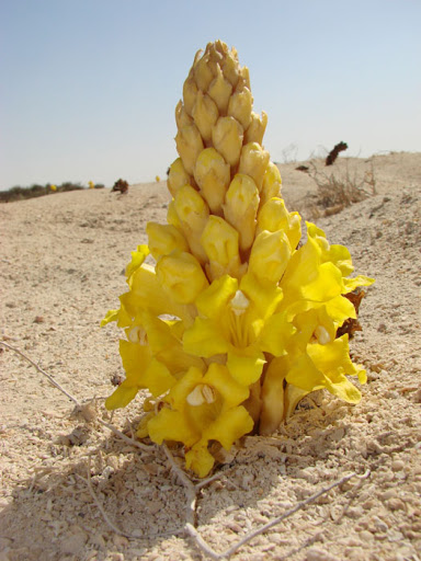 A beautiful yellow desert flower as a symbol of what Mary Fields was.