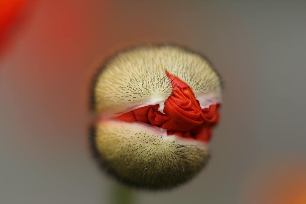 a flower bud is opening with red leaves poking through the bud.