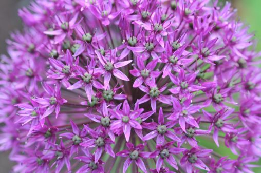 Allium (Quelle Bruno Krautz)