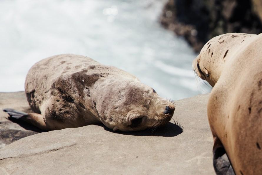 Baby sea lion close up