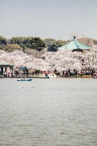 Cherry blossoms on lake