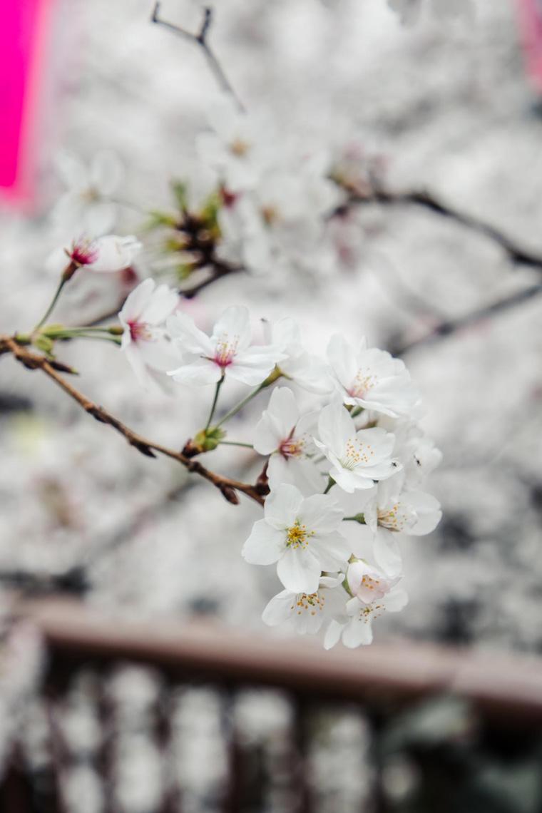 Cherry blossoms - Tokyo itinerary 7 days