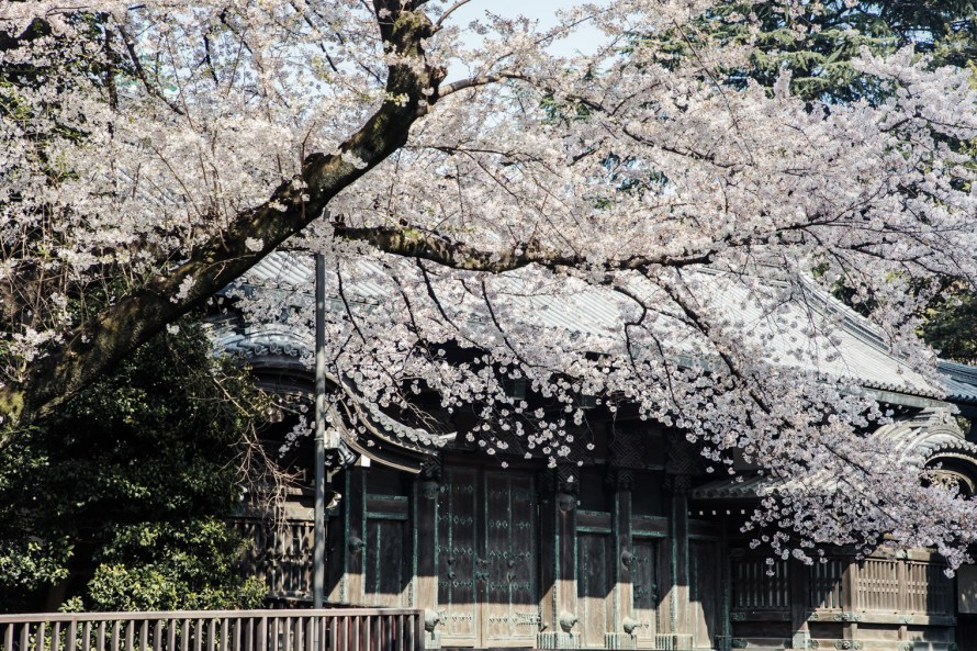 cherry blossoms and building