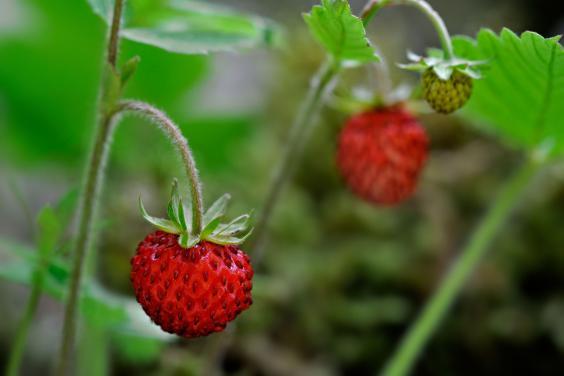 Strawberries-Alamy