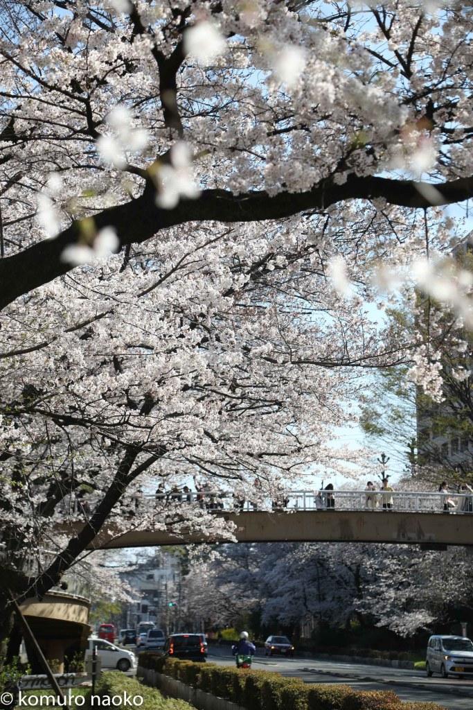 大学通り桜