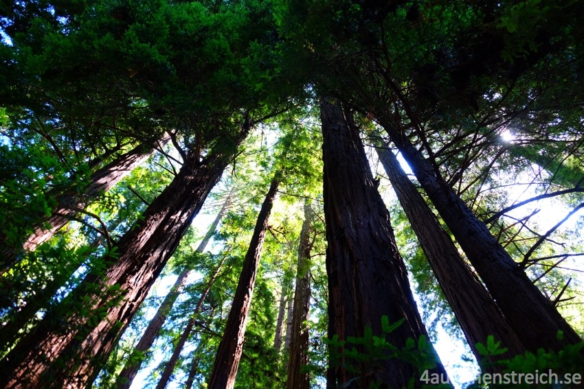 Redwoods_wm