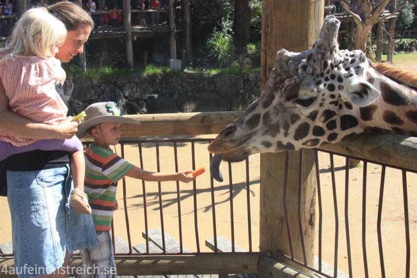 Giraffenfüttern im Zoo in Auckland