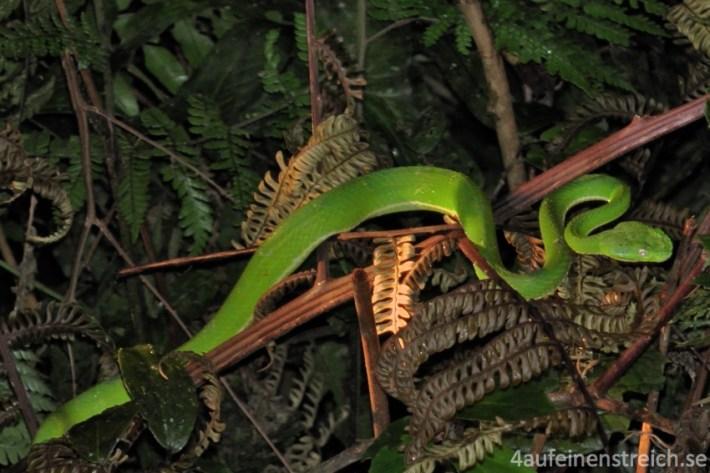 Nachtexkursion Monteverde - die giftige Side-Striped Palm Pitviper