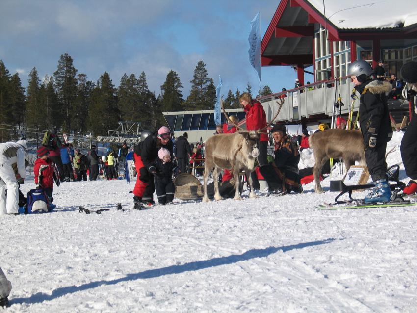 Rentiere gehören in Schweden im Winter dazu!