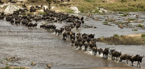 migration_wildebeest_river_crossing_762x365