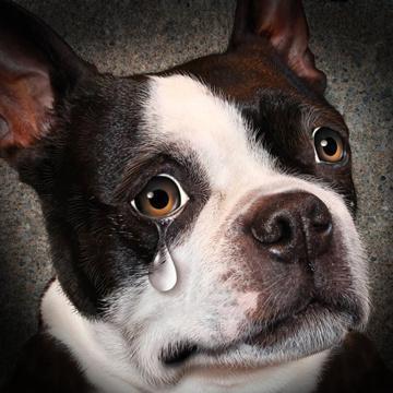 為什么有的時候狗會哭?