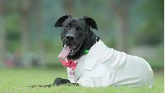 新人拍婚紗照,黑狗穿西裝亂入成亮點,網友:伴郎太搶鏡了!