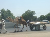 Camel on the road.