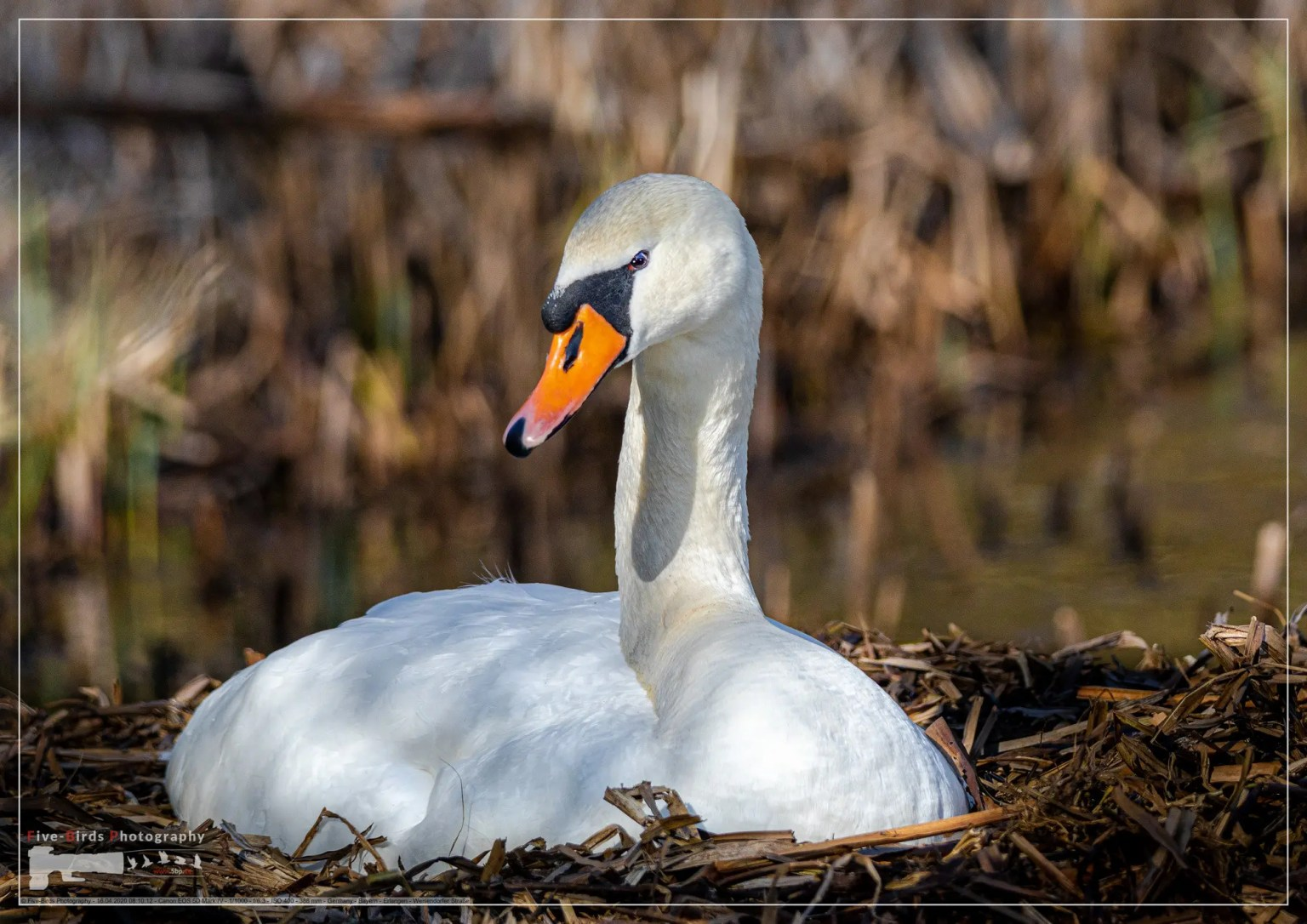 A female mute swan is brooding in its nest in southern Germany