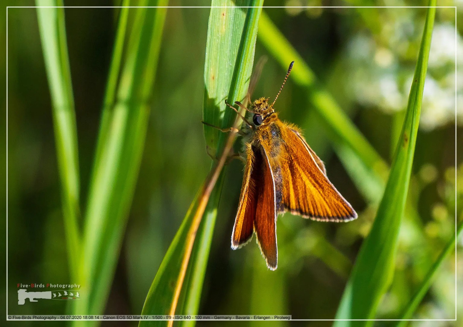 A small skipper sits on a blade of grass