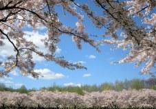 400 cây hoa anh đào khoe sắc