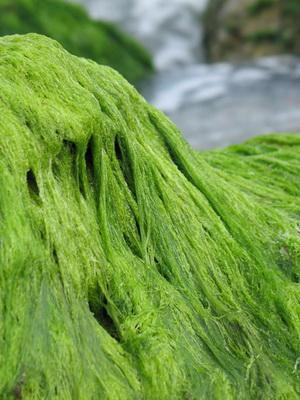 poate ajuta algele cu pierderea în greutate ce sa mananci zilnic pentru slabit