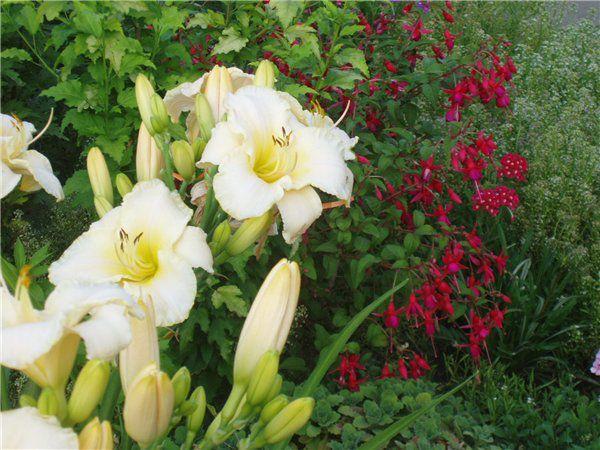 садовые цветы Лилейник белые, красные, оранжевые, желтые ...