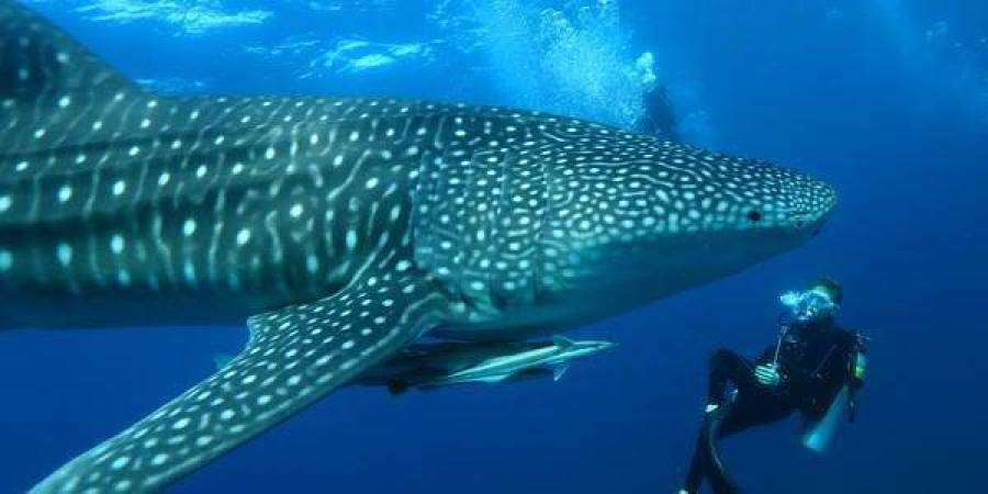 Sail to the edge of the atoll to swim with Whale Sharks