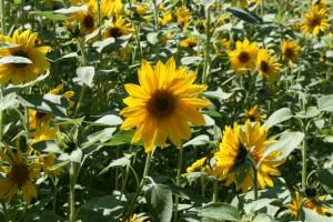 Lass Blumen sprechen - Im Feld