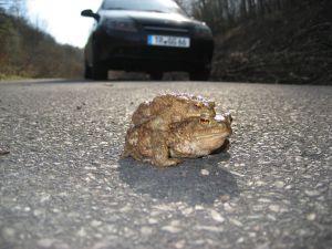 In den nächsten Wochen werden Autofahrer um besondere Vorsicht gebeten, denn viele Amphibien, wie die Erdkröten, überqueren die Straßen um zu ihren Laichgewässern zu gelangen. Bildquelle: Untere Naturschutzbehörde