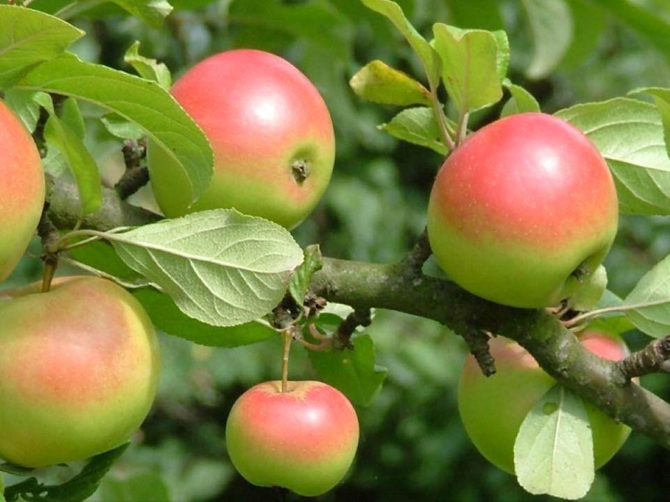 Reife Viez-Äpfel am Baum. Bildquelle: Viezhof Hunsicker Fisch