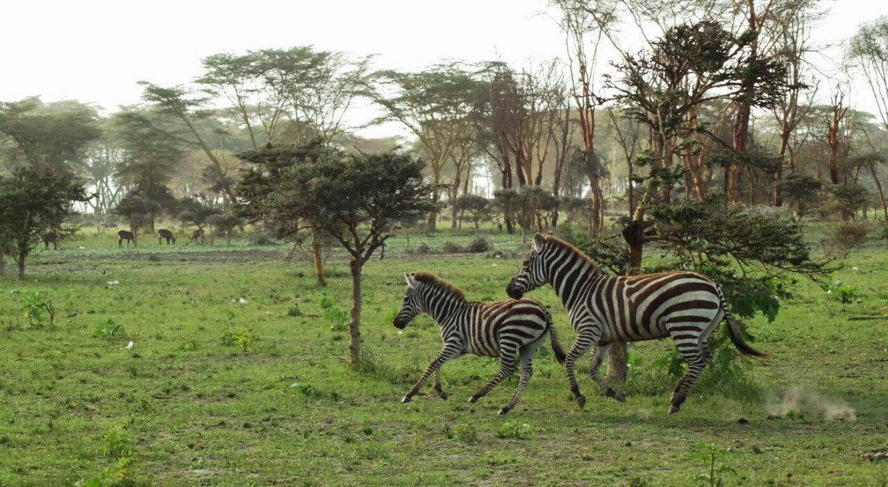 Zebra with young fleeing the nerdy photographer, Lake Naivasha, Kenya