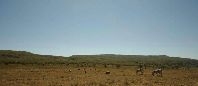 Zebras grazing in Hell's Gate National Park