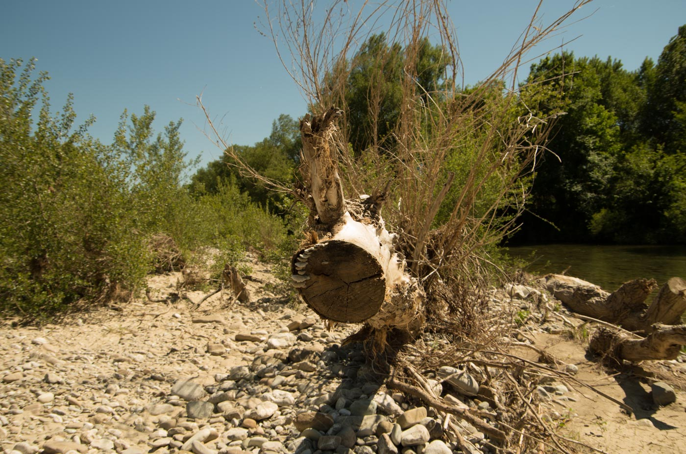 A half-living tree in a partly dried riverbed near the town of Castelcivita.